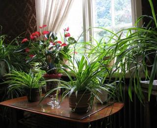 Augi, kas attīra gaisu, uzlabo veselību un cīnās ar sliktajām enerģijām