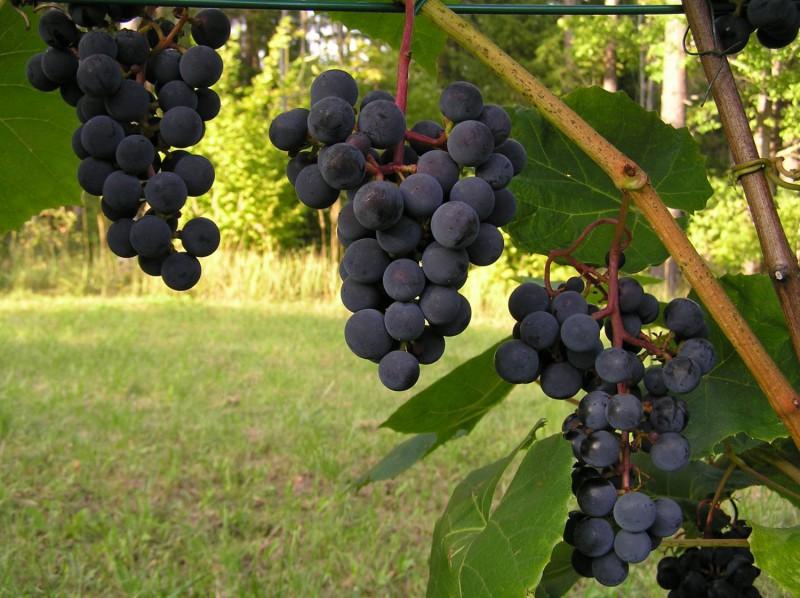 Dodies degustēt Latvijas labākos vīnus