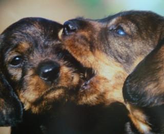 Mūsu mājas mīluļu Ginesa rekordi. Suņi